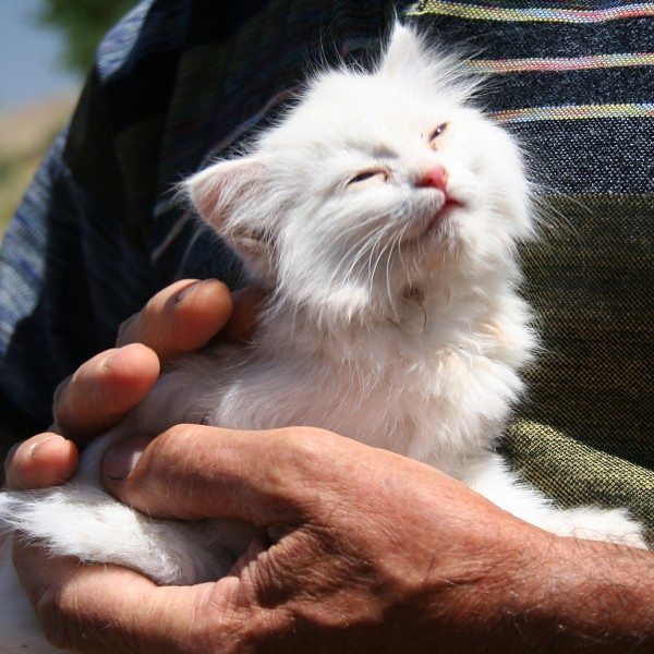 6f70f103e1 A Van cat kitten from the village of Agarti (formerly Ayanis)
