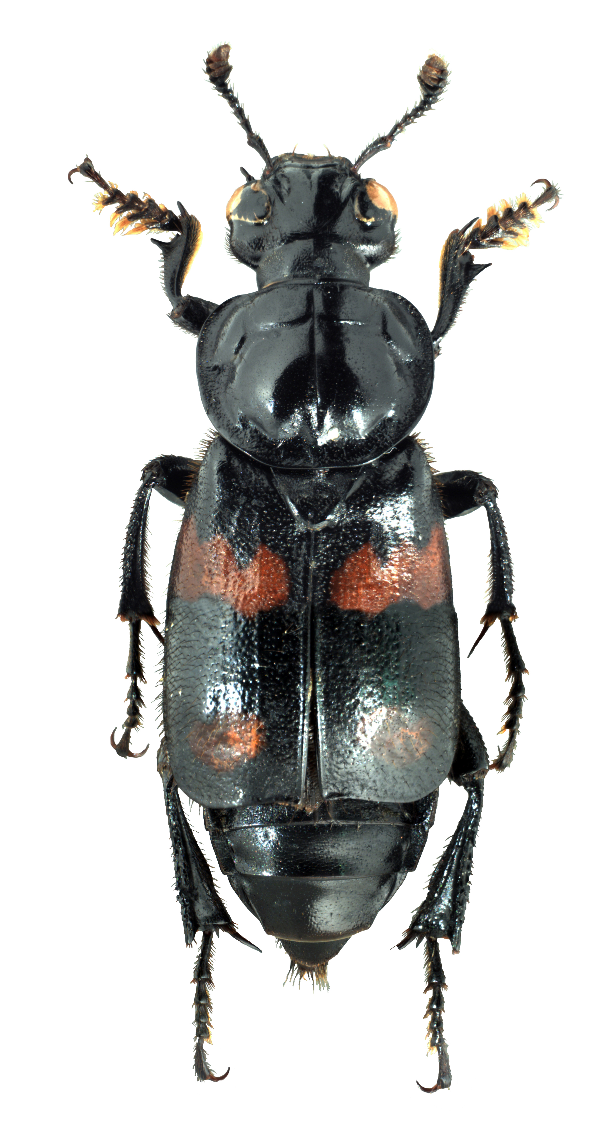 Nicrophorus Orbicollis Wikipedia