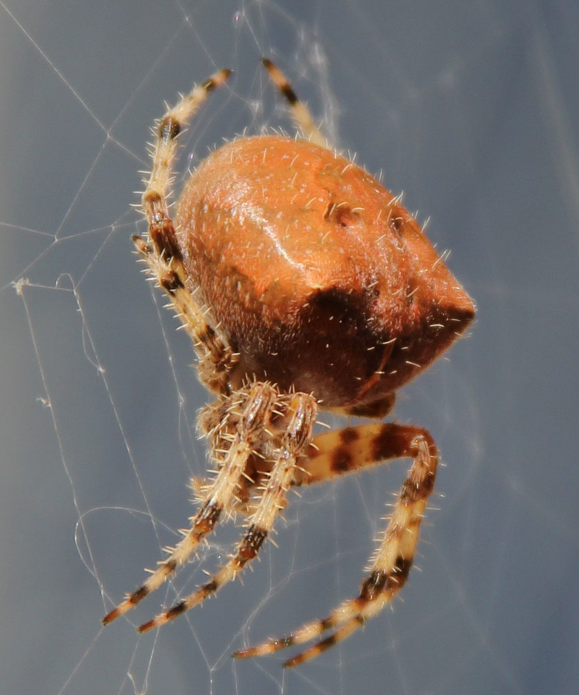 Pictures of Cat Face Spiders http://en.wikipedia.org/wiki/File:Cat_Faced_Spider.jpg