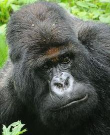 Titus (gorilla) Gorilla from Volcanoes National Park in Rwanda
