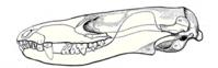 Hadrocodium kafatası, çene eklemi tam memelilerde olduğu gibi