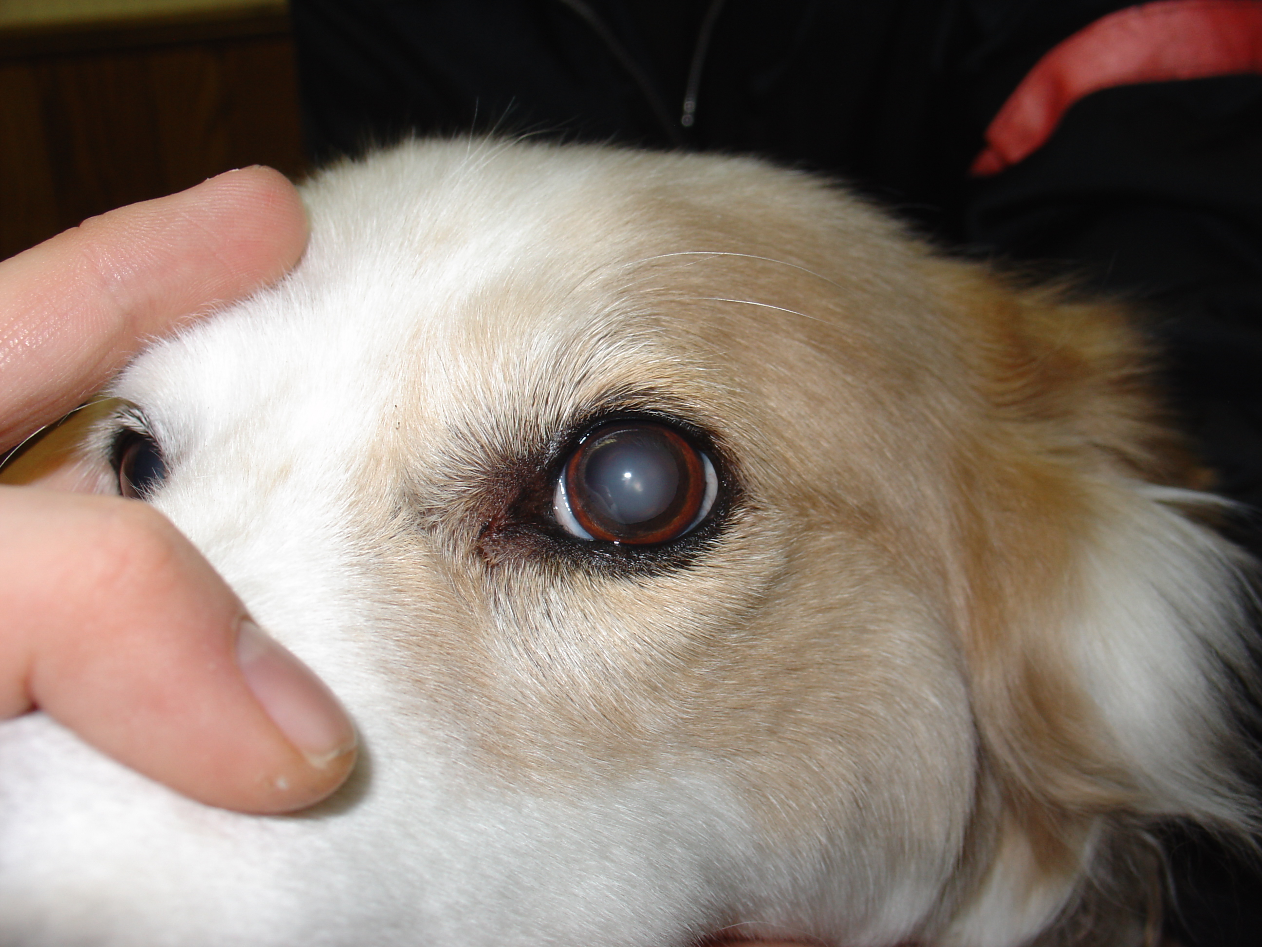 Dogs Eye Is Blood Red