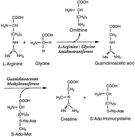 Arginine:glycine amidinotransferase - Wikiwand
