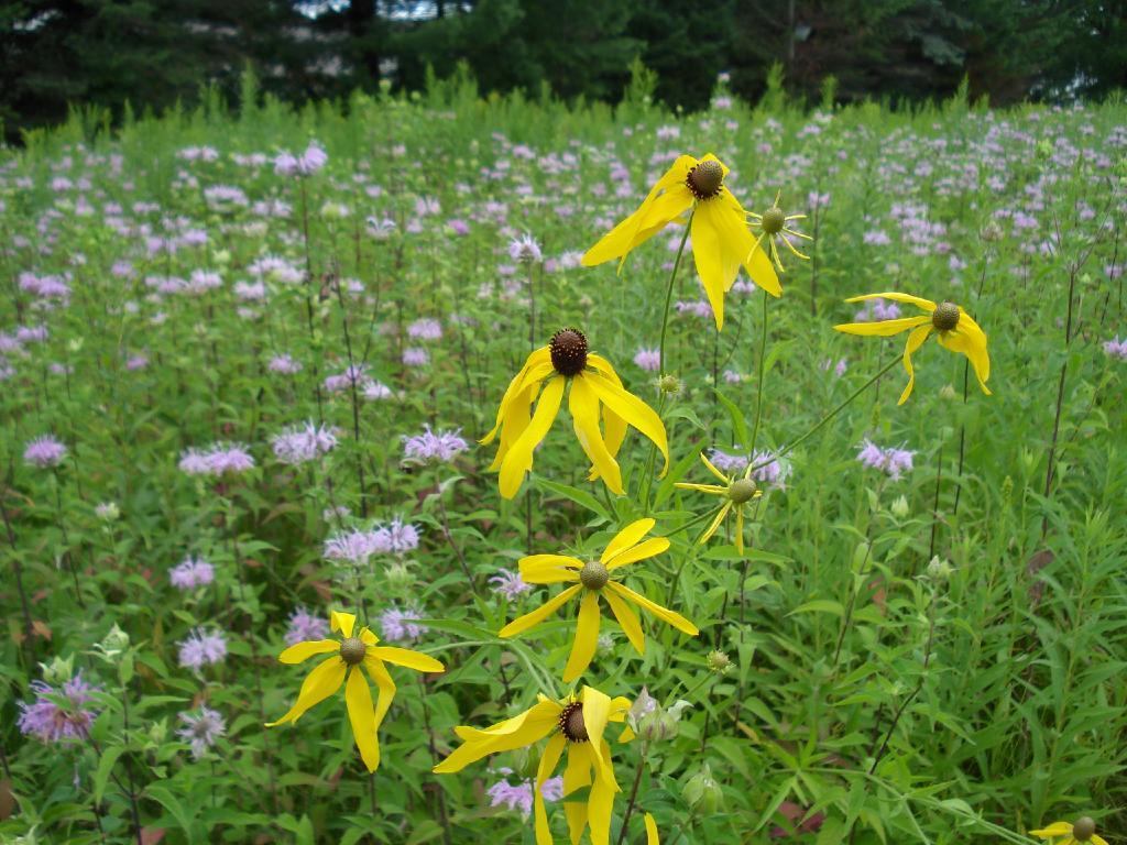 Fileprairie Grasses And Flowers In Antigo Wisconsing Wikipedia