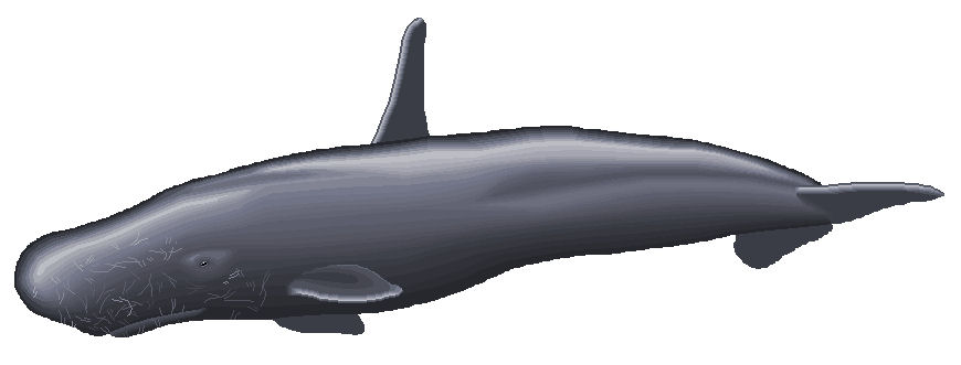 An high-finned sperm whale as rendered by an artist