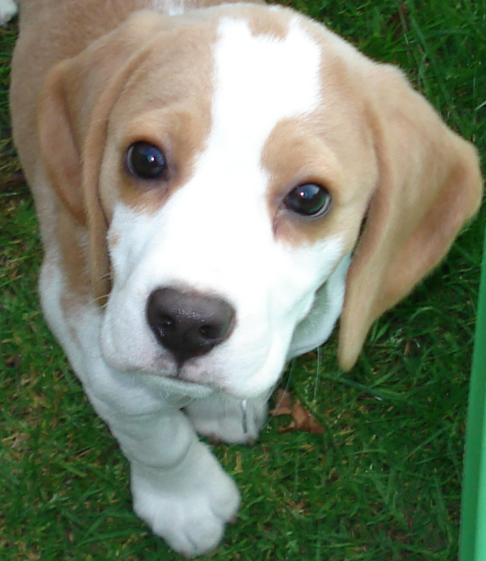 Beagle Cross Dogs For Sale In Uk