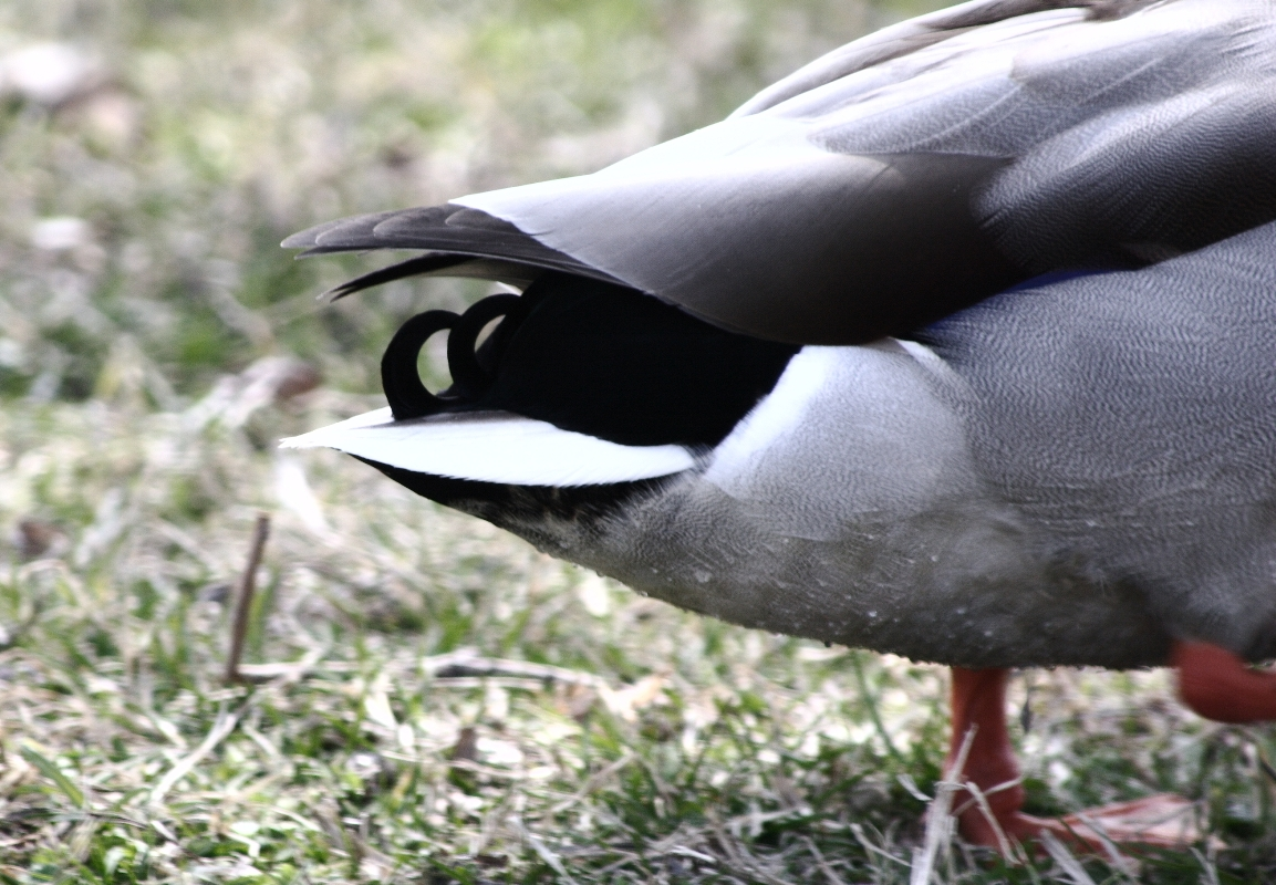 file duck u0027s jpg wikipedia