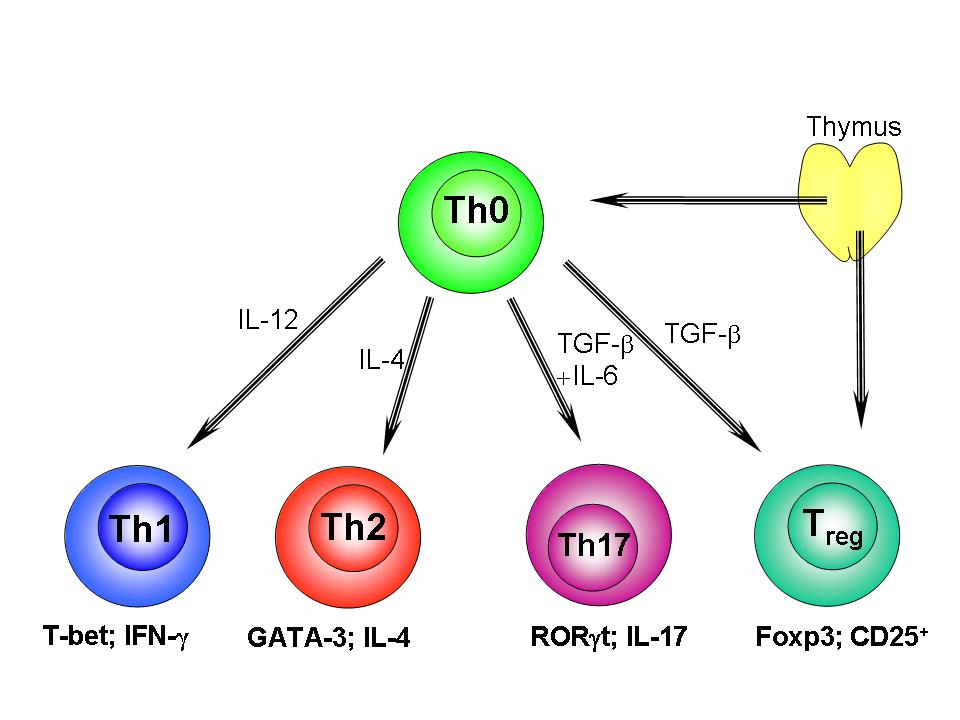 File:Th1-Th2-Th17-Treg origin.png