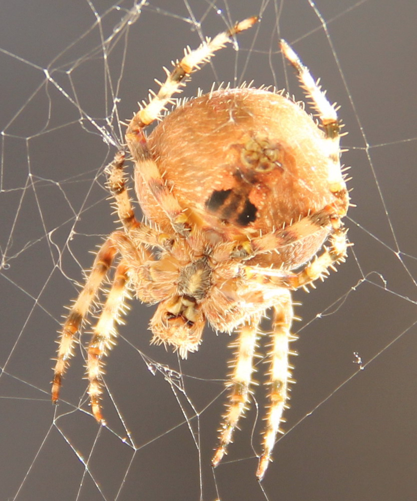 Pictures of Cat Face Spiders http://en.wikipedia.org/wiki/File:Cat_Faced_Spider_from_below.jpg