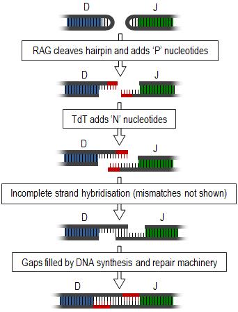 generation of antibody diversity pdf
