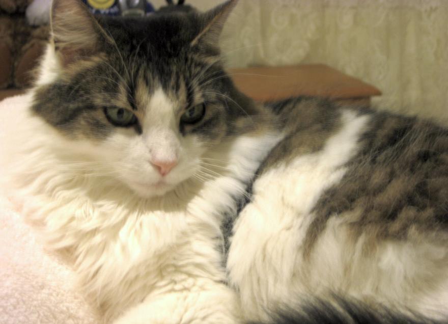 American shorthair cat wiki