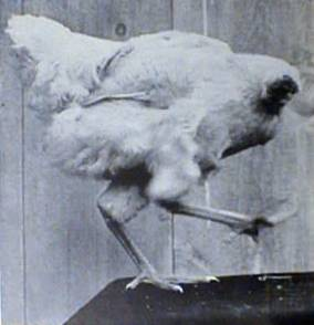 File:MikeTheHeadlessChicken.jpg - Wikipedia, the free encyclopedia