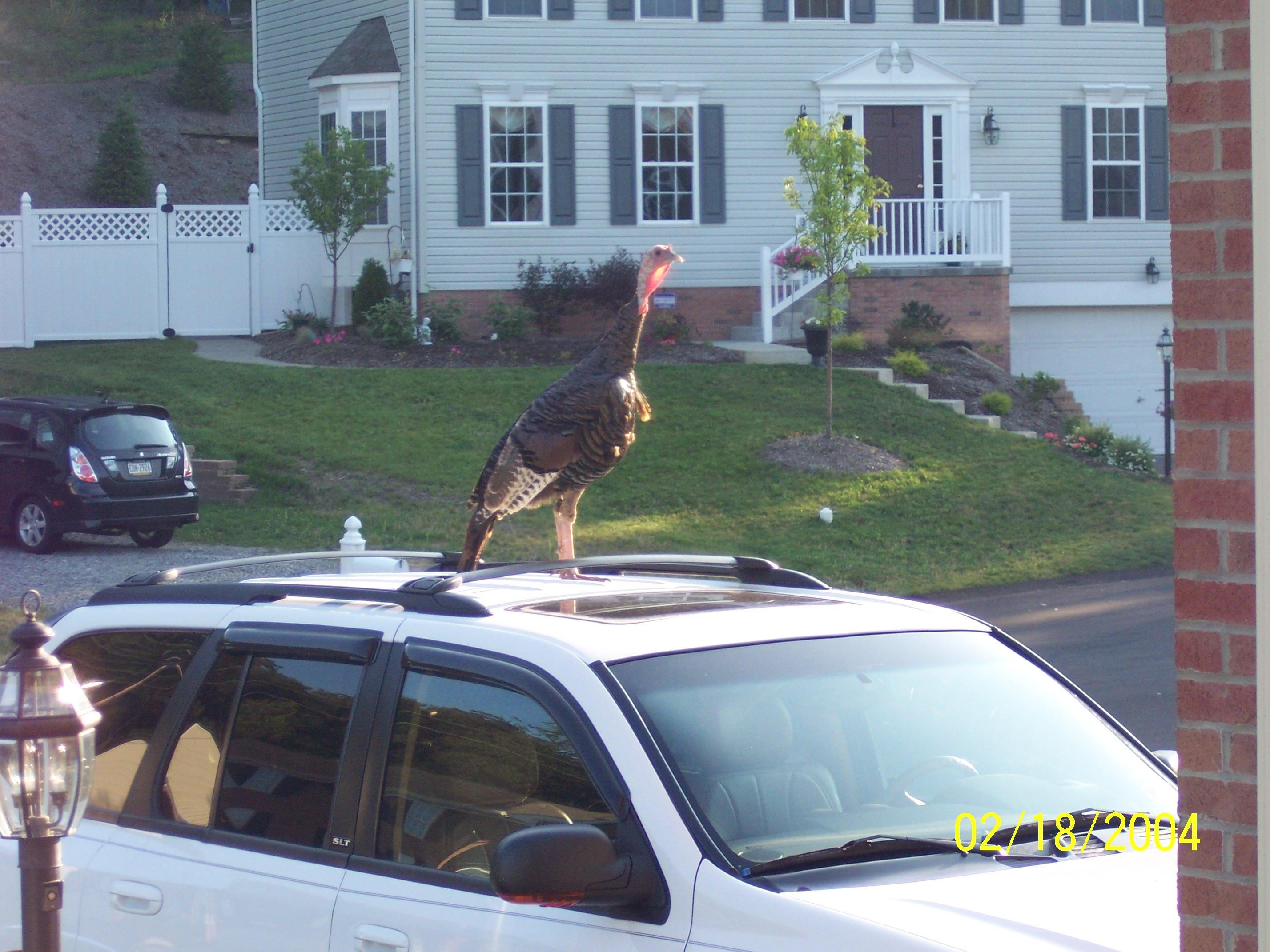 File Turkey On My Mom S Car Jpg