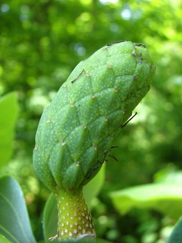 Cucumber magnolia.jpg