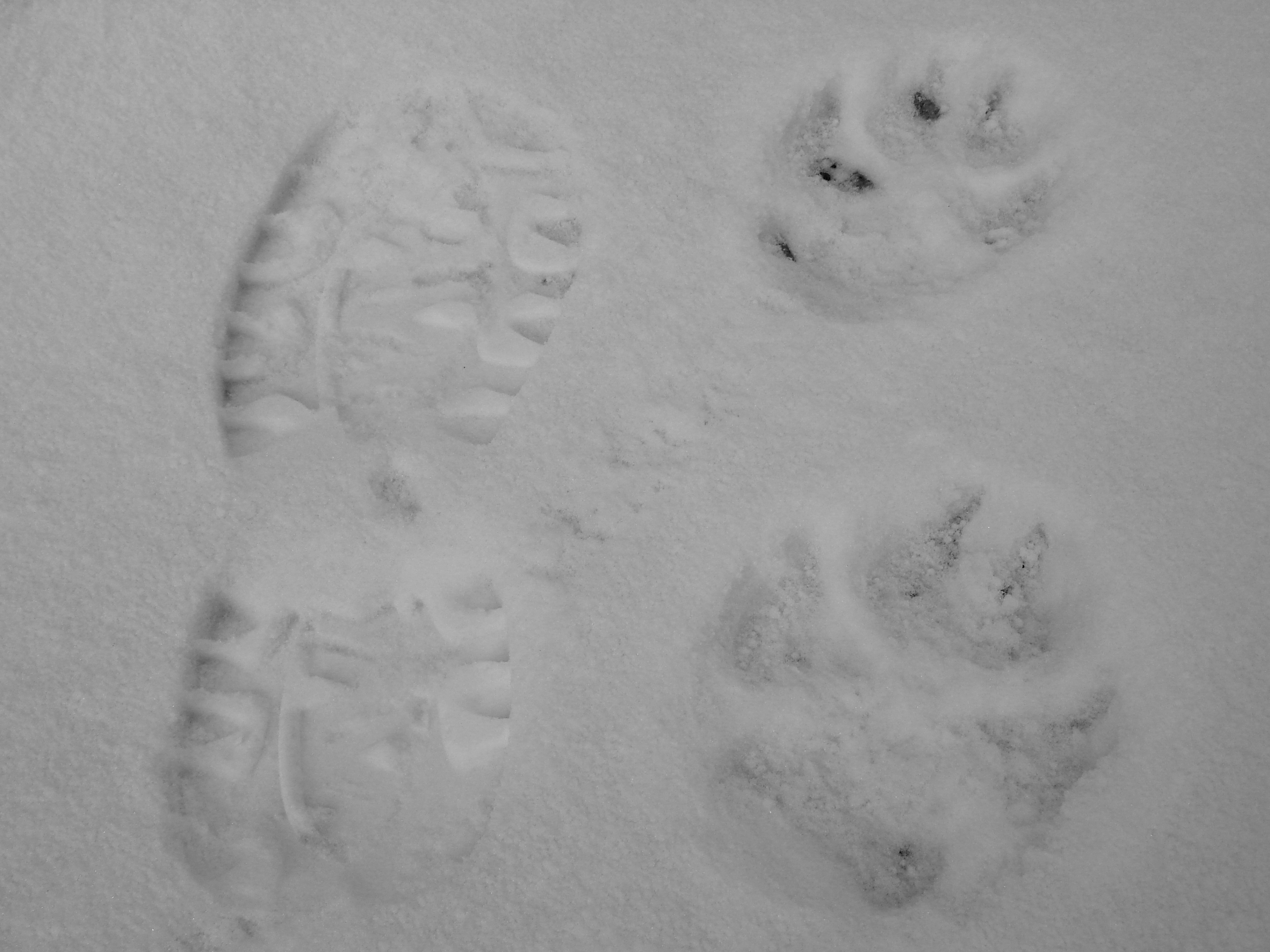 Big Cat Tracks In Snow