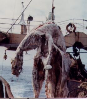 Zuiyo-maru carcass - Wikipedia Oarfish Skull