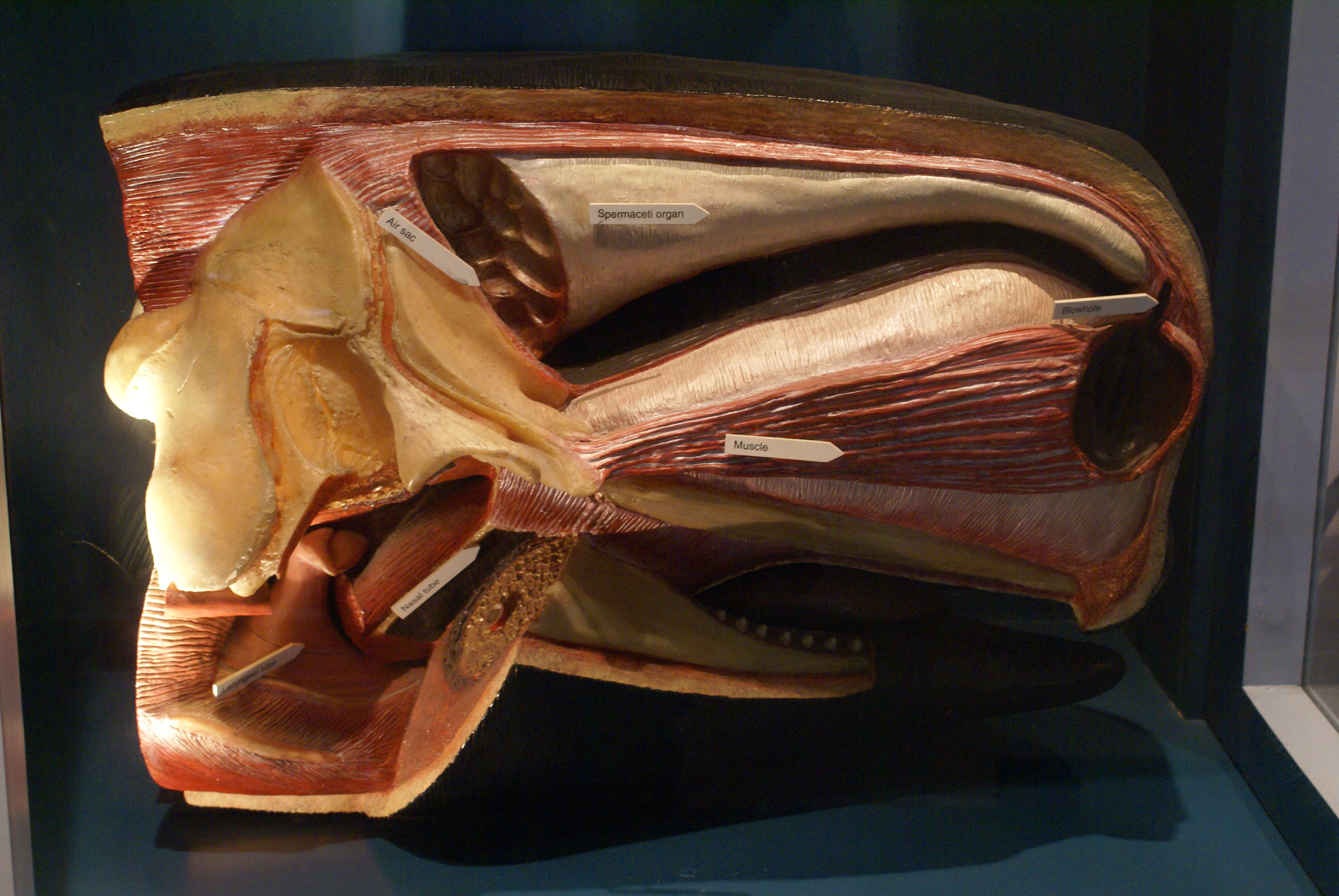 File:Sperm Whale\'s head anatomy.JPG - Wikipedia