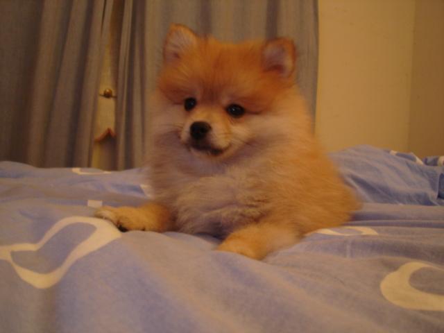 File:Sable Pomeranian.JPG - Wikipedia Pomeranian Wiki