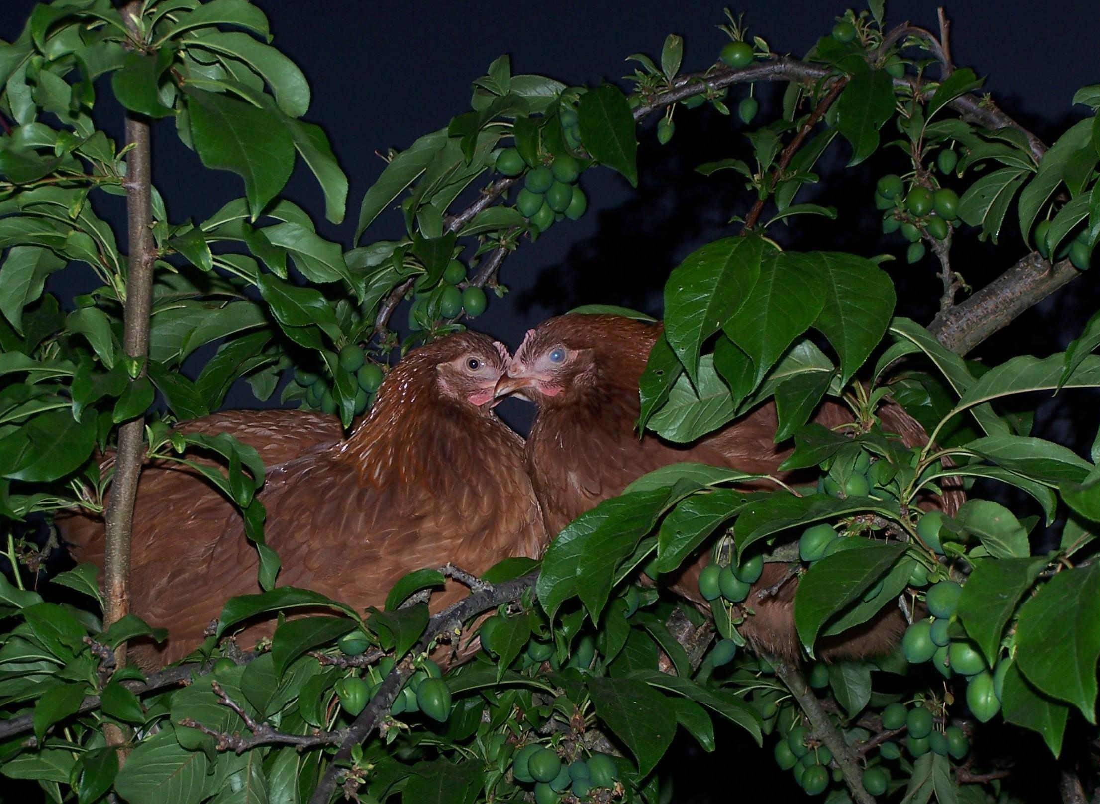 Filechooks sleeping in a treeg wikipedia filechooks sleeping in a treeg pooptronica
