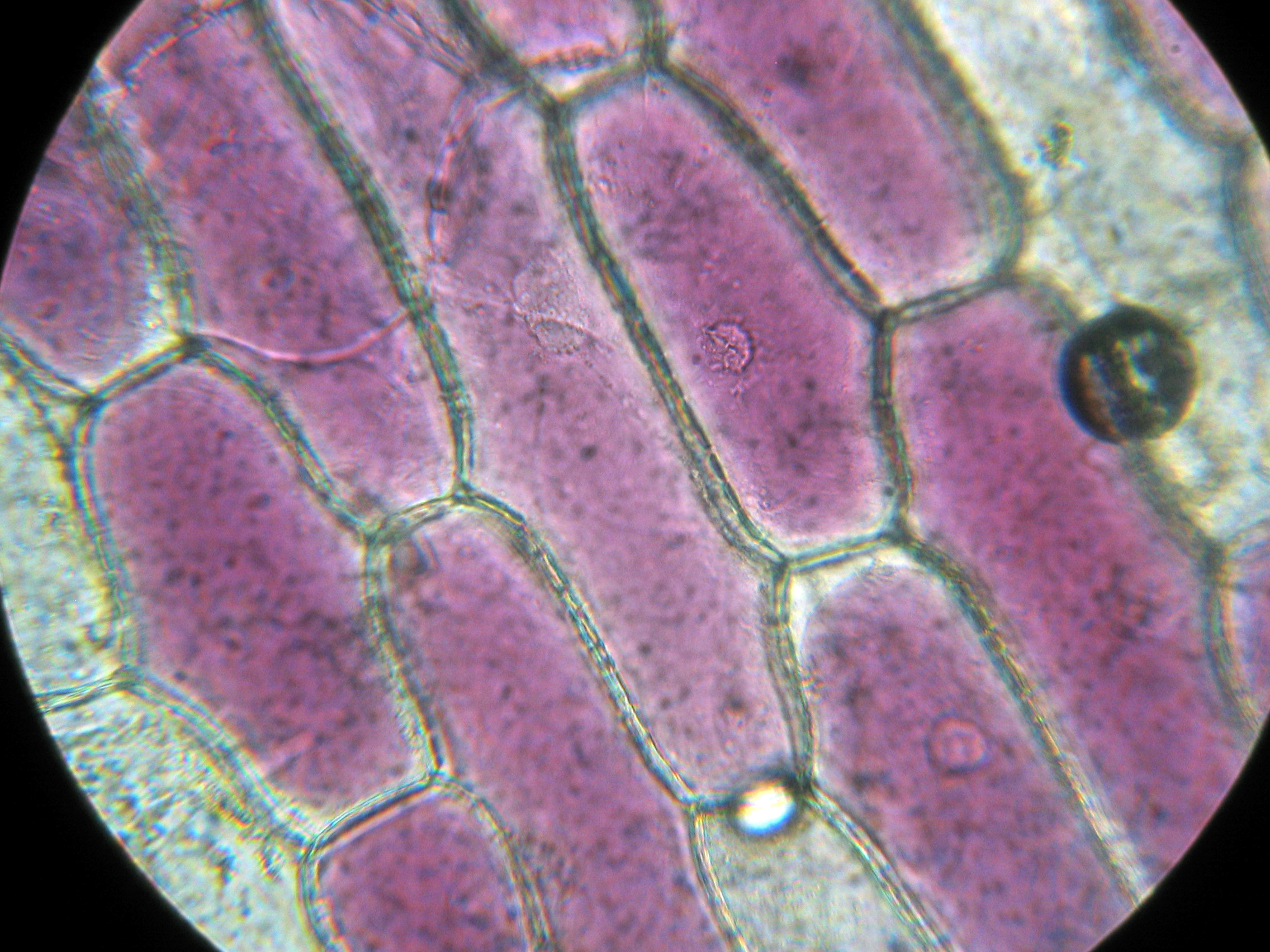 File:Red Onion Cells.JPG - Wikipedia