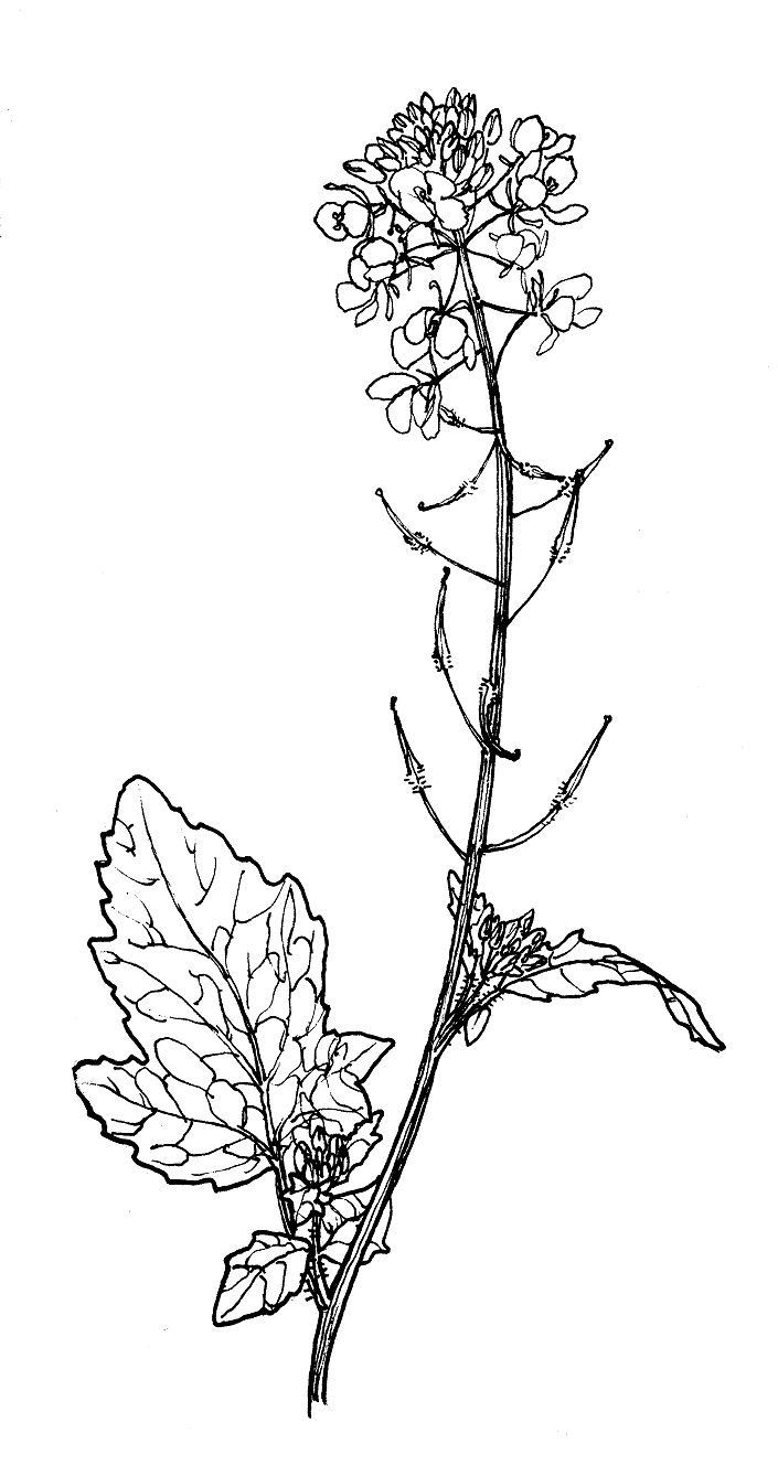 wild white mustard sinapis alba