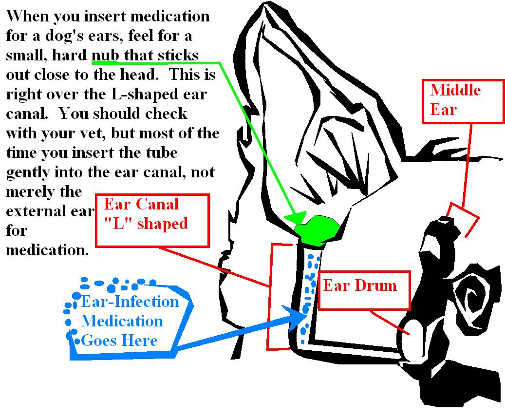 Dog ear infections: Dog ear infection article and administering drops