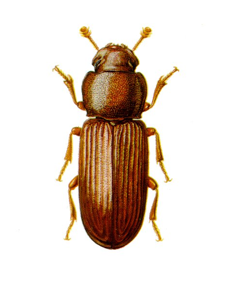 Home-stored product entomology - Wikipedia