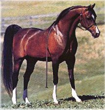 Conformation shot of the bay stallion Khemosabi standing in a green field