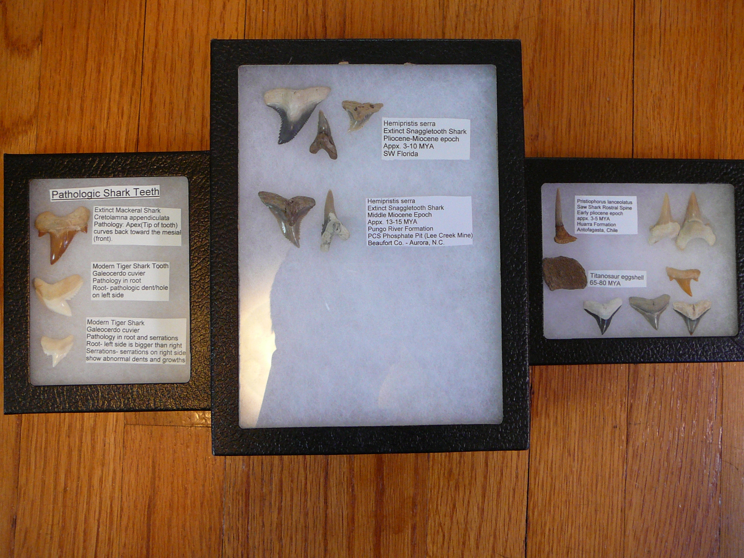 file ryker display case sizes shark teeth 002 jpg wikipedia