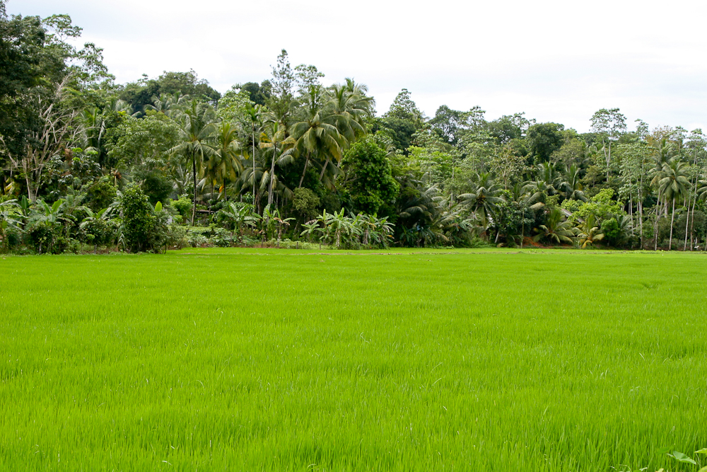 paddy cultivation in sri lanka pdf