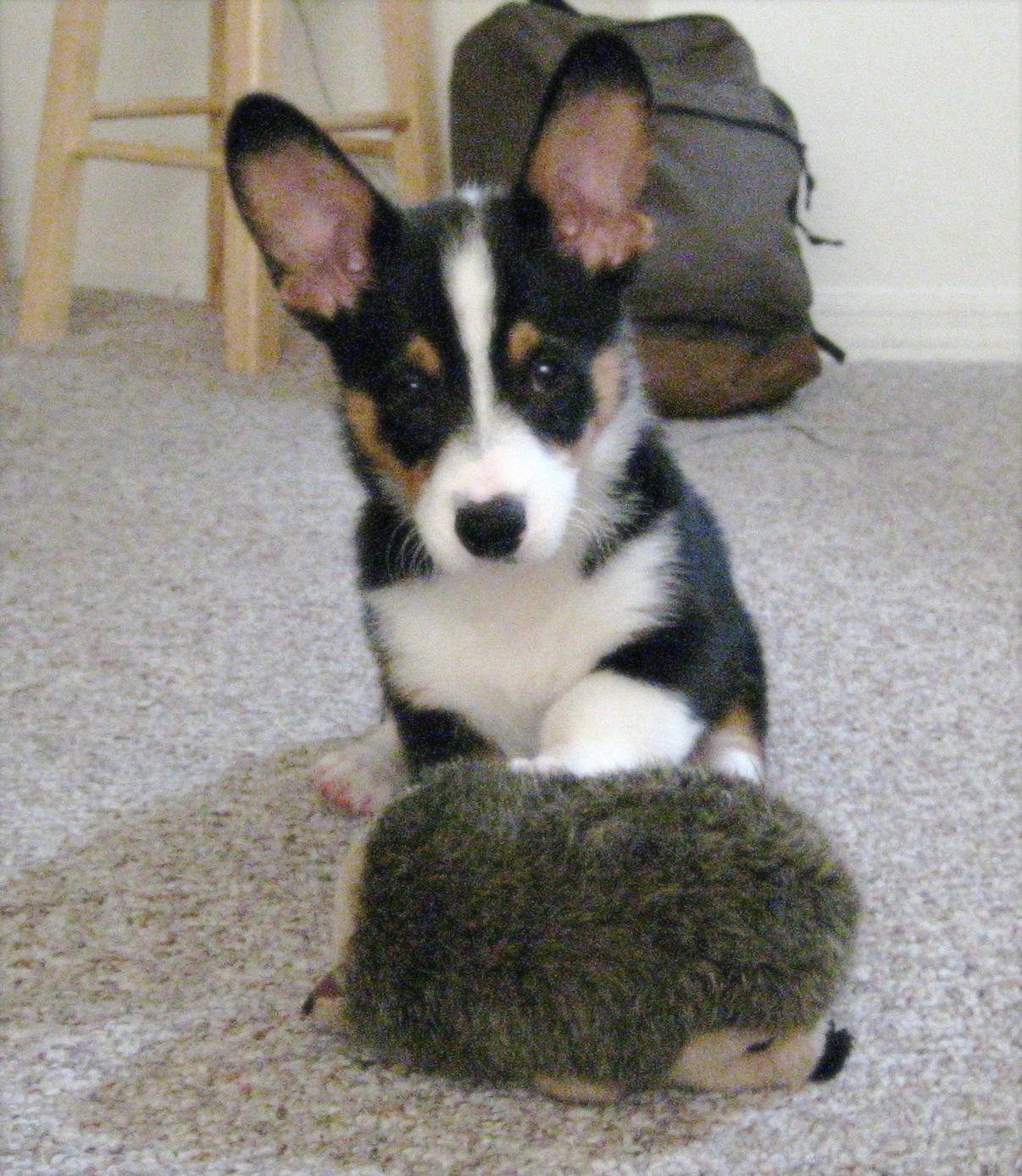 Oliver, a Tri-Color Corgi from Ohio | Corgi Dogs