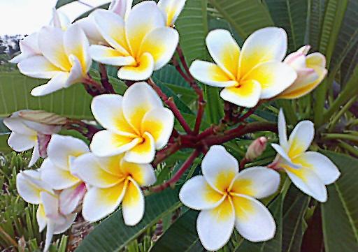 Αποτέλεσμα εικόνας για Frangipani Flower - Η Πλουμέρια