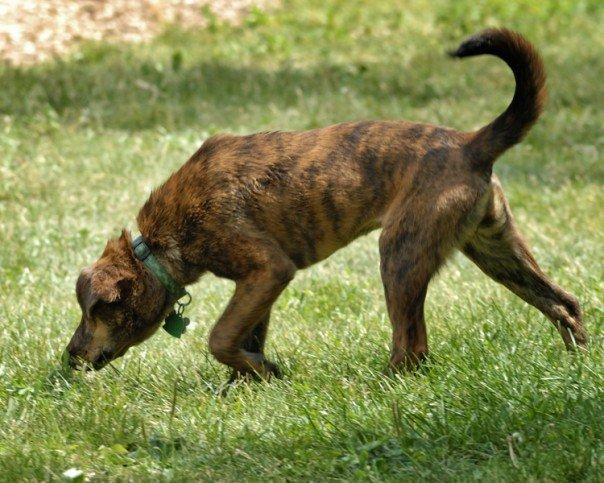 File:Brindle plott hound.jpg - Wikipedia, the free encyclopedia