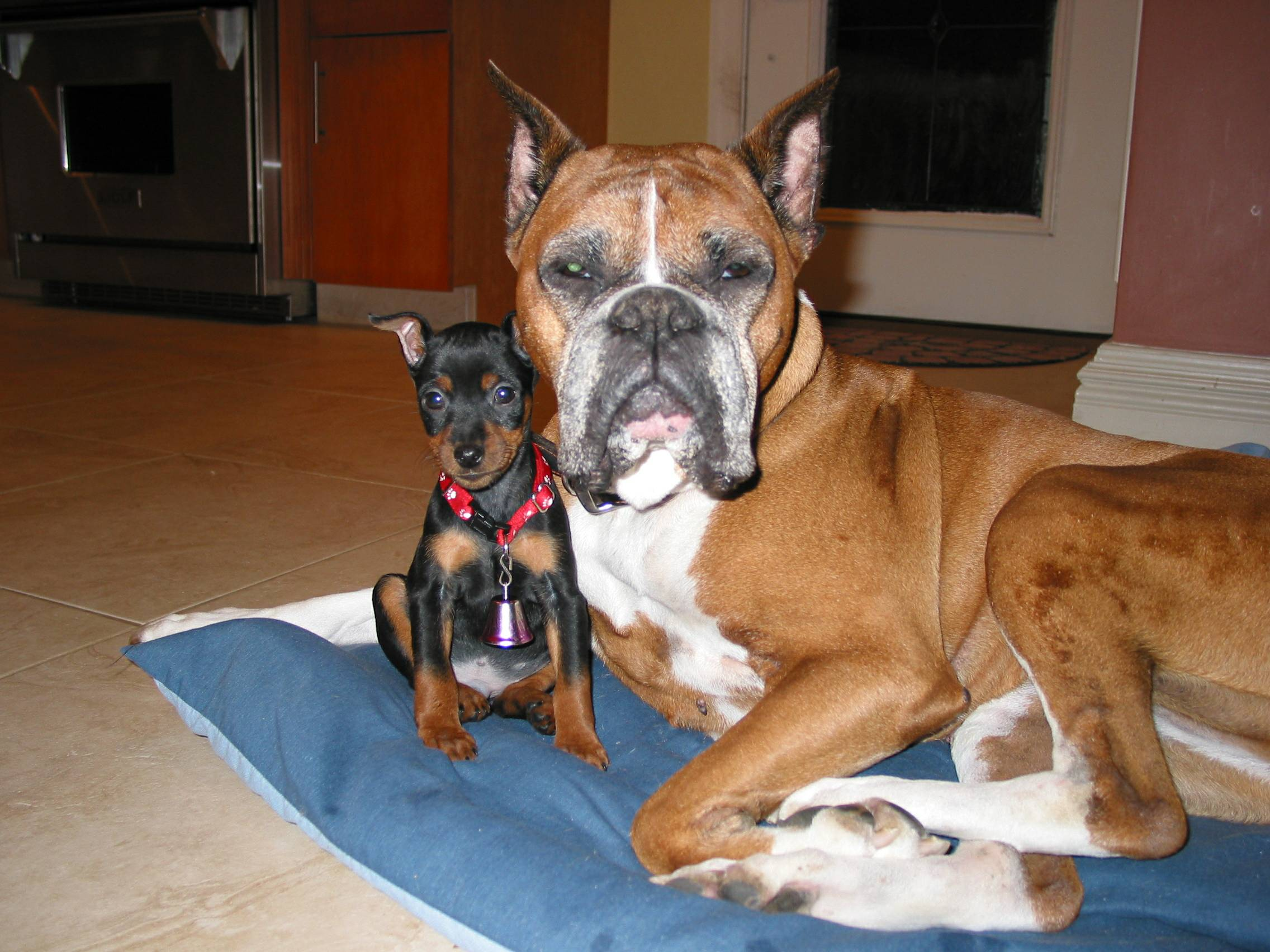 Miniature Pincher and a Boxer!