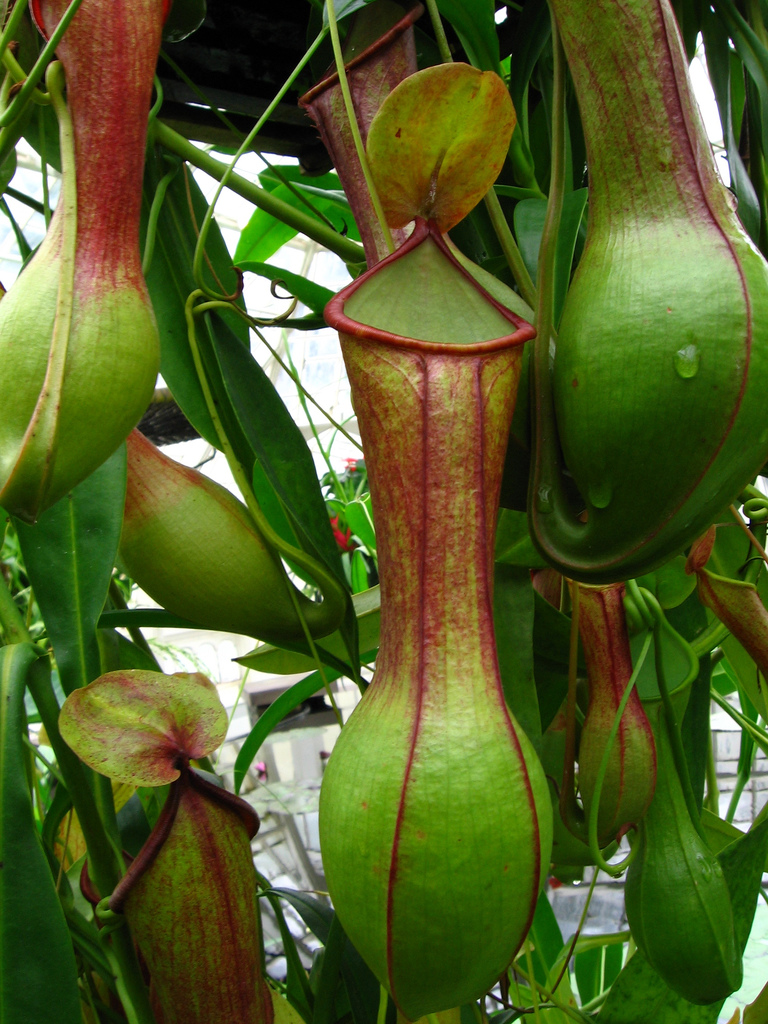 Size of this preview  450   215  600 pixels   Other resolutions  180    Carnivorous Pitcher Plants