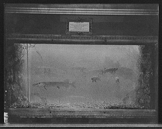 Pike in an aquarium c. 1908, at the Belle Isle Aquarium, Belle Isle Park