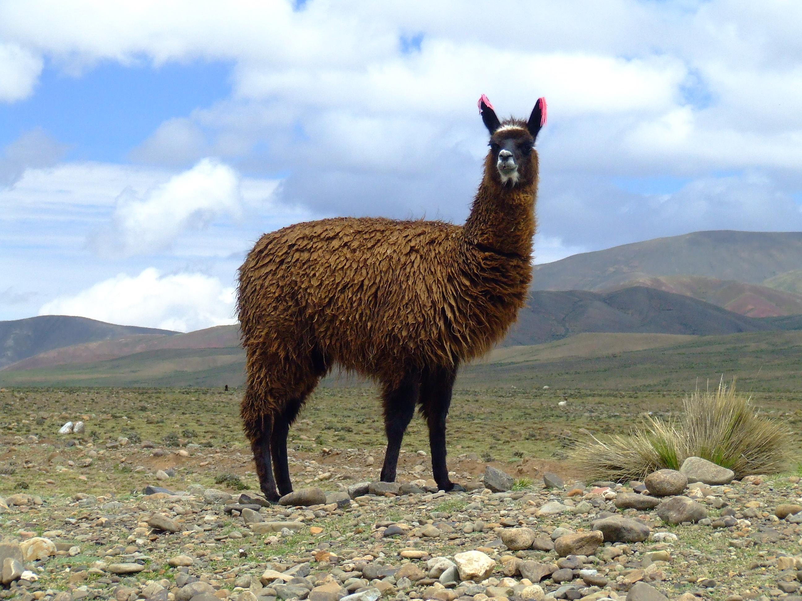 Llama In My Living Room Descargar Utorrent