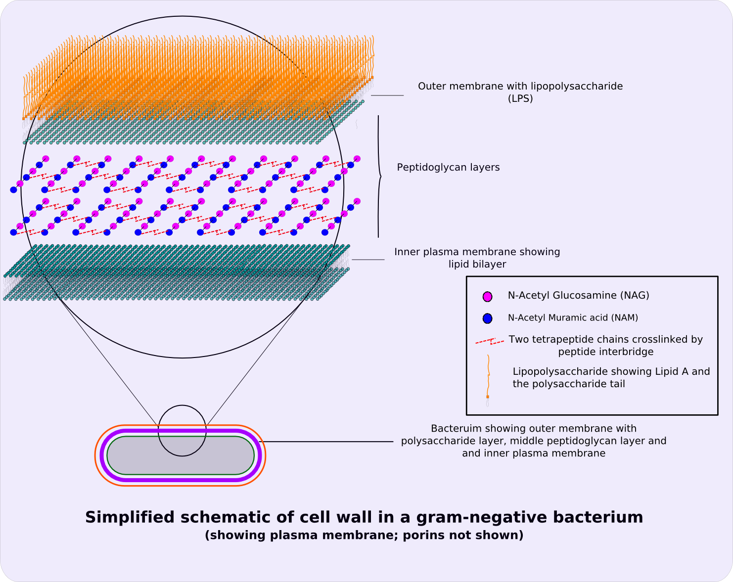 Cell wall size timiznceptzmusic cell wall size file gram negative cellwall schematic ccuart Image collections