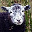File:Herdwick sheep crop.jpg