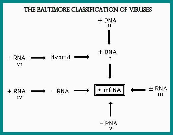 File:Baltimore Classification.jpg - Wikipedia