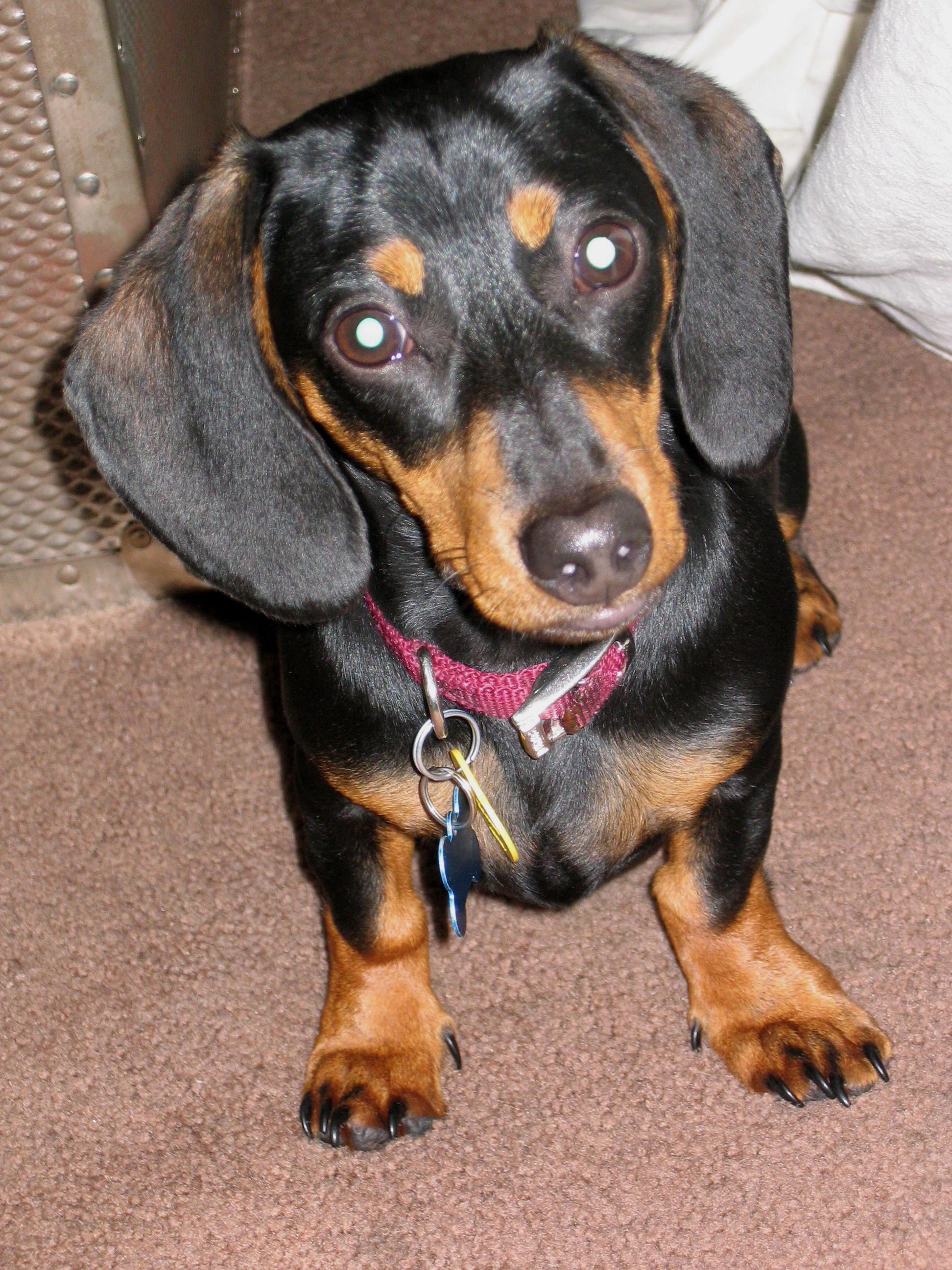 Are Mini Dachshunds Good Kids Dogs