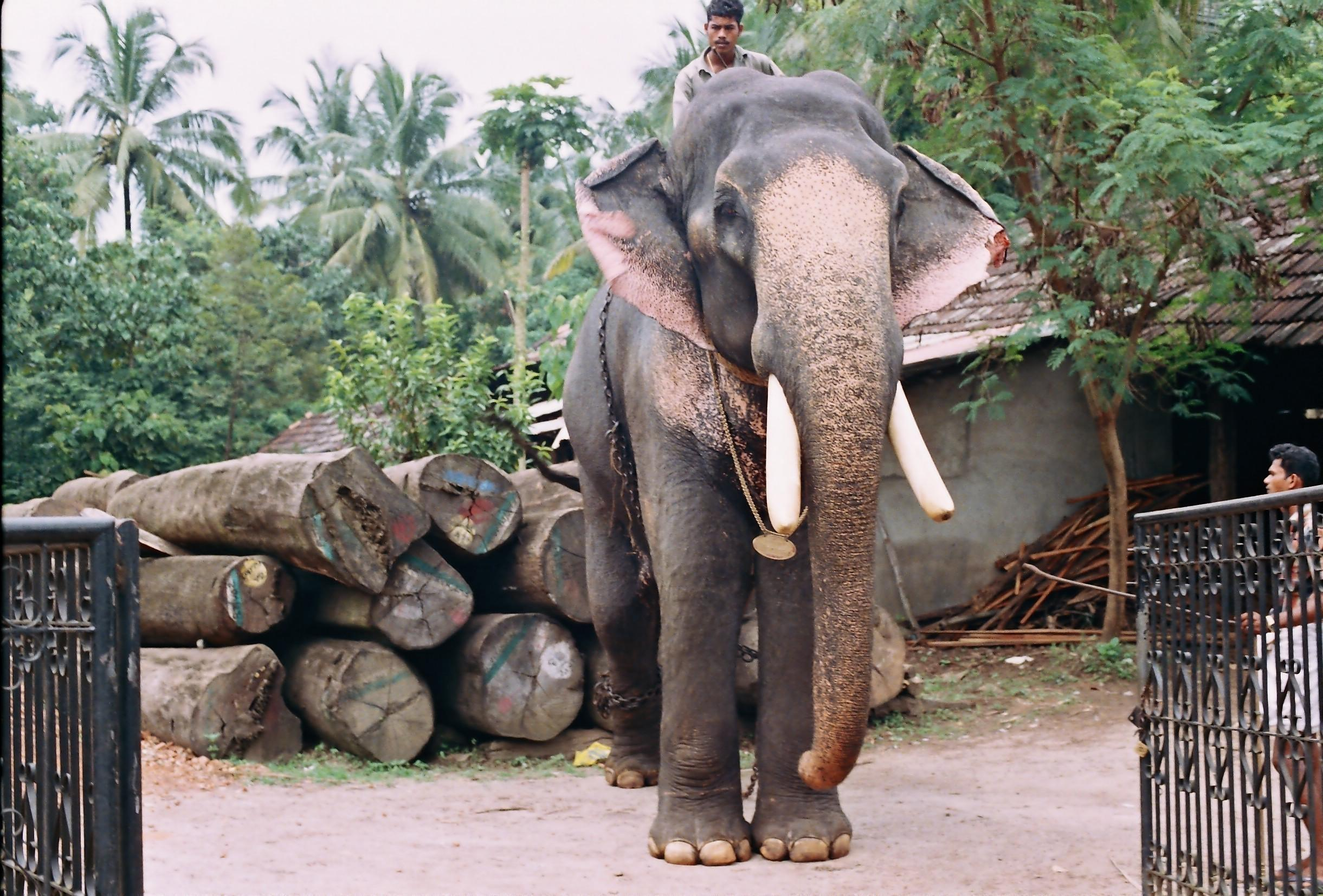 Kerala Elephant Names | www.imgkid.com - The Image Kid Has It!