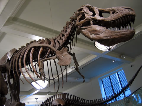 A dinosaur replica at the American Museum of Natural History