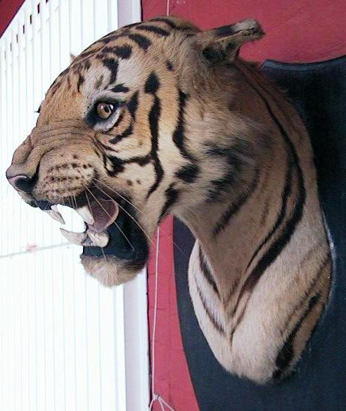 Image result for tiger head mounted