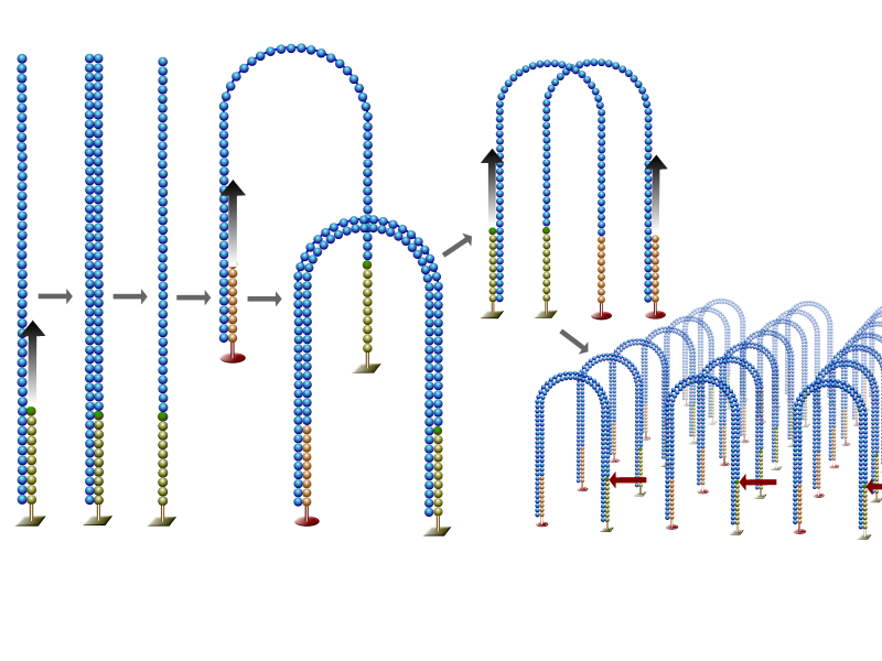 File:DNA Sequencing Bridge Amplification.png - Wikipedia