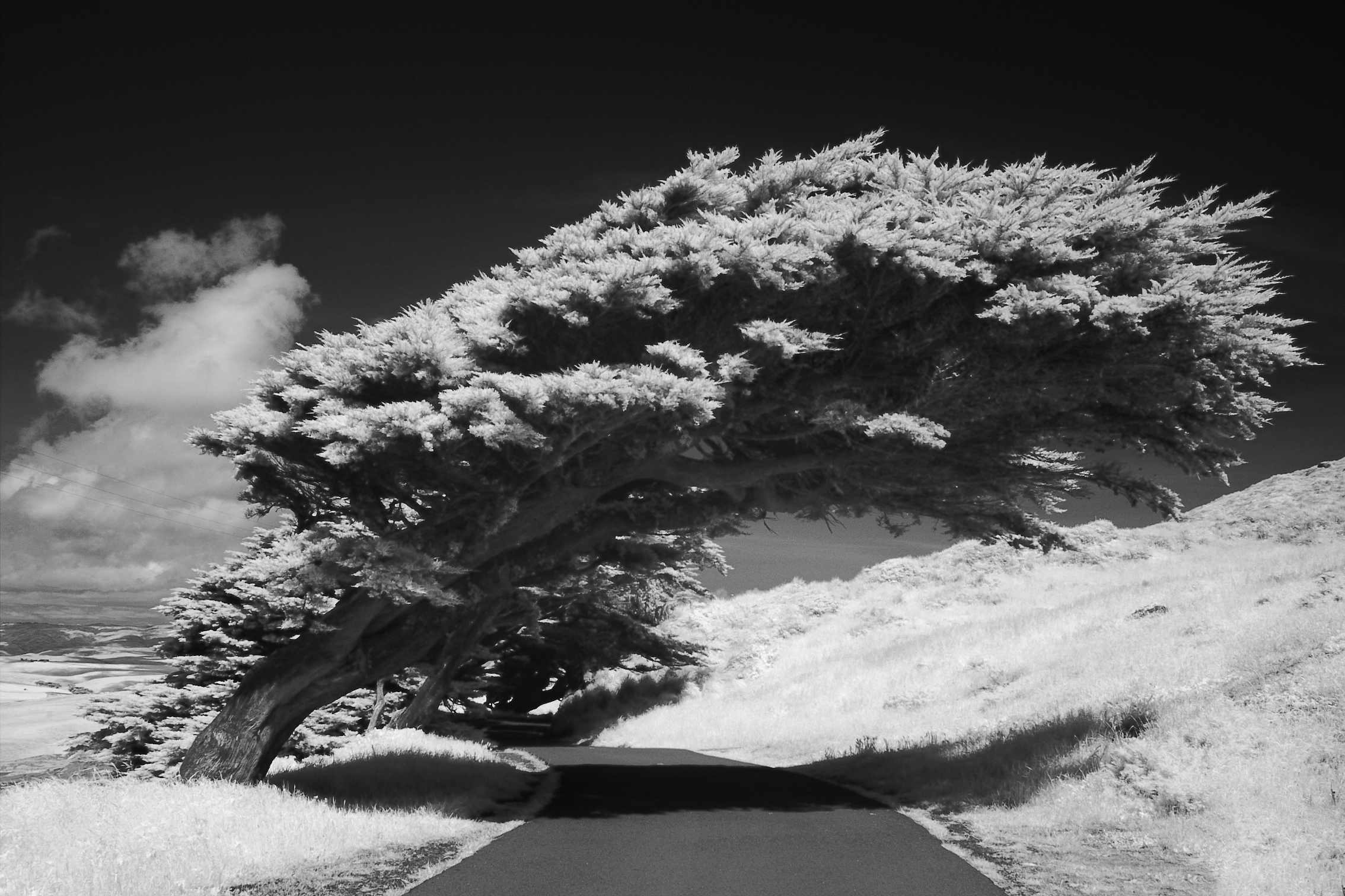Bending cypress infrared shot by sigma sd10 with b w 093 filter iso 100 f 8 1 160 s