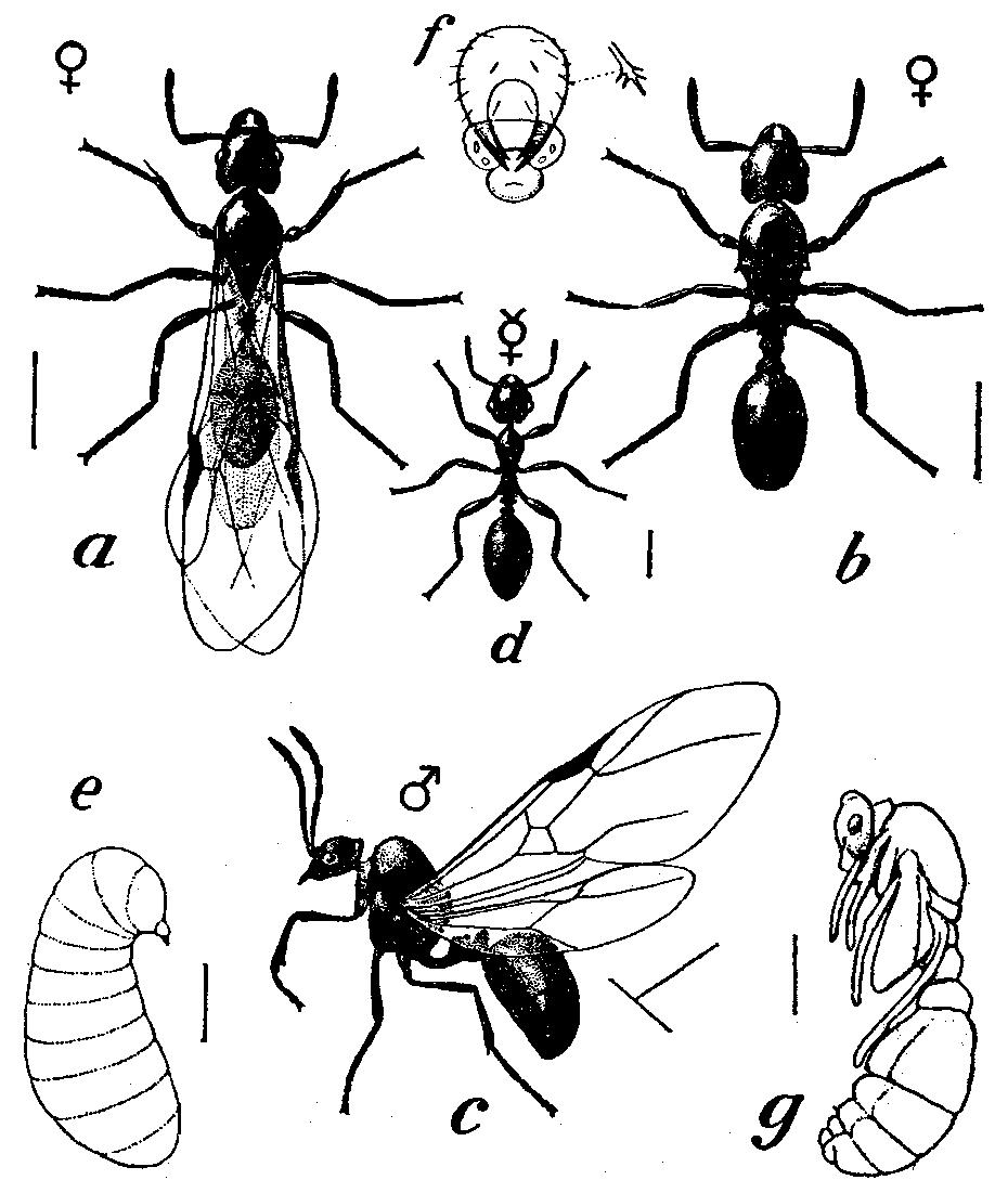 File:Tetramorium cespitum.png - Wikipedia