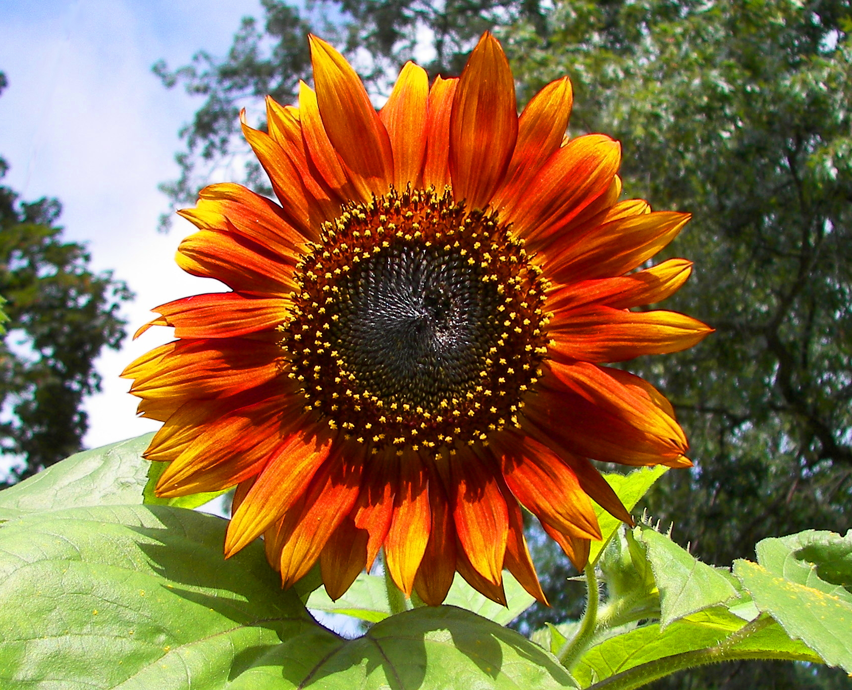 File Red sunflower