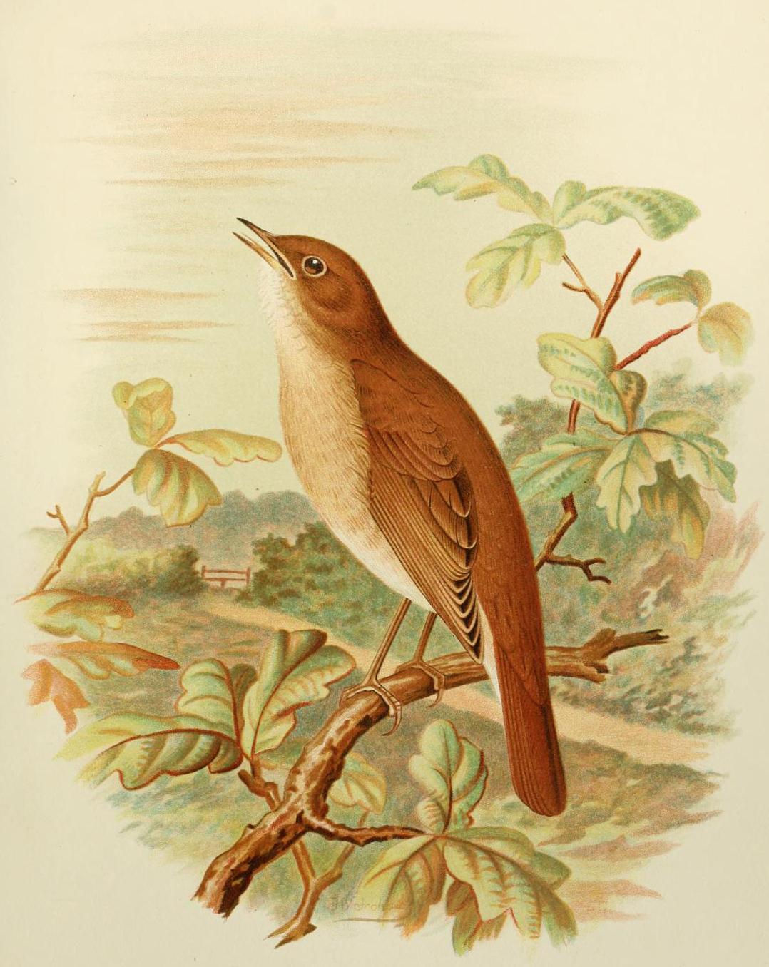 File:Nightin... First Nightingale