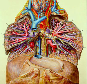A painting of a cross-section of human lungs showing blood vessels and other parts in great detail and brilliant color